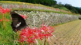 ハイビジョン 16:9 宮崎の壁紙  アゲハチョウと彼岸花