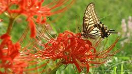 ハイビジョン 16:9 宮崎の壁紙 彼岸花とアゲハチョウ