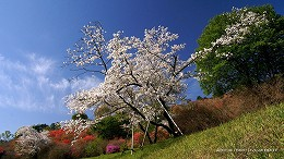 ハイビジョン 16:9 宮崎の壁紙 桜とミツバツツジ