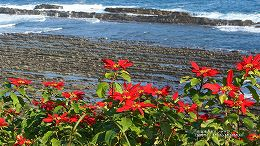 ハイビジョン 16:9 宮崎の壁紙 日南海岸のポインセチア(宮崎市)