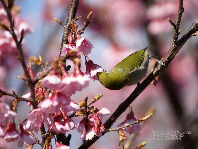 寒緋桜(カンヒザクラ)とメジロ p_miyazaki_02_002.jpg