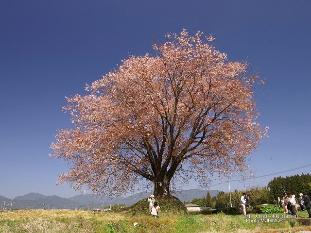 大坪の一本桜の壁紙  p_miyazaki_03_003.jpg