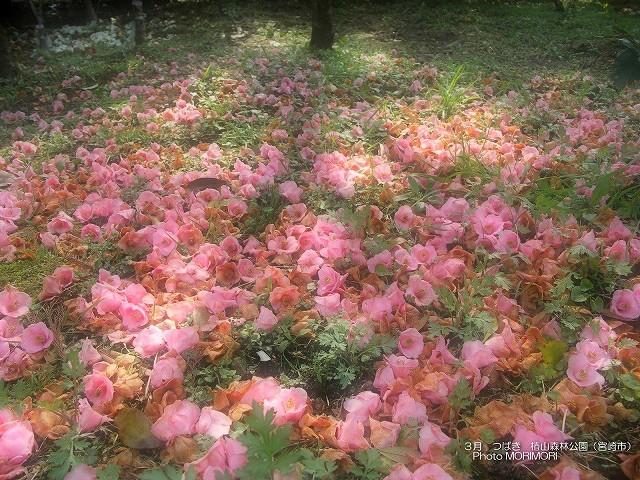 椿山森林公園の椿の壁紙 p_miyazaki_03_005.jpg