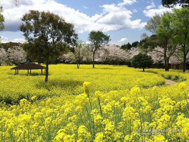 菜の花の壁紙 p_miyazaki_04_001.jpg