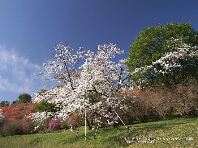 桜とミツバツツジの壁紙 p_miyazaki_04_003.jpg