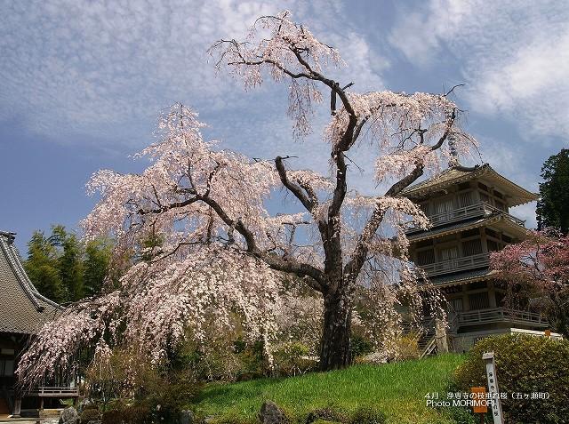 浄専寺の枝垂れ桜の壁紙 p_miyazaki_04_011.jpg