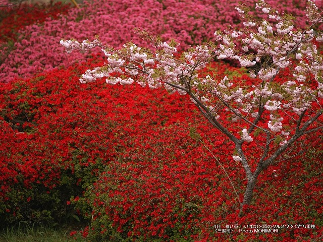 ツツジと八重桜の壁紙 p_miyazaki_04_015.jpg
