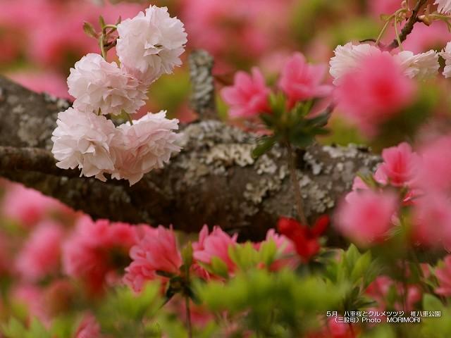 八重桜とツツジ 壁紙 p_miyazaki_04_016.jpg