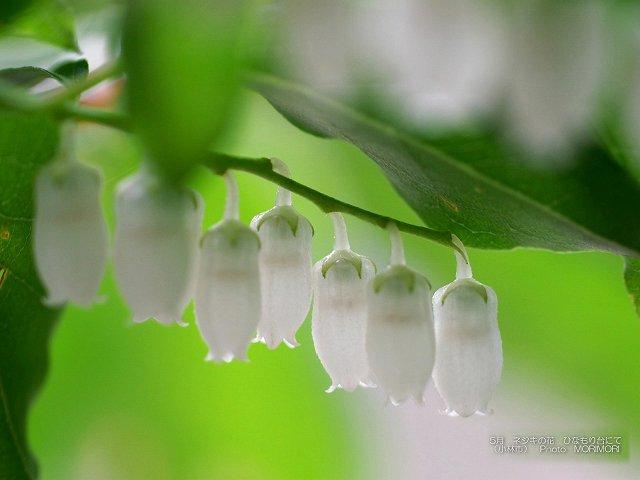 ネジキの花の壁紙 p_miyazaki_05_009.jpg