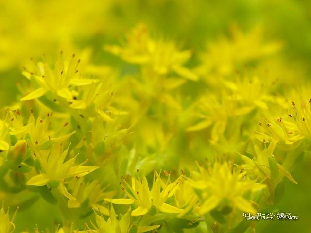 黄色い花の壁紙 p_miyazaki_05_010.jpg