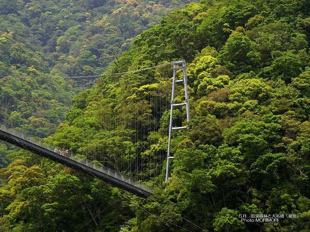 綾 照葉大吊橋と照葉樹林 壁紙 p_miyazaki_05_016.jpg