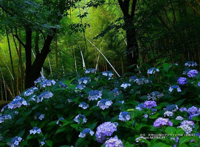 アジサイと竹林の壁紙 p_miyazaki_06_001.jpg