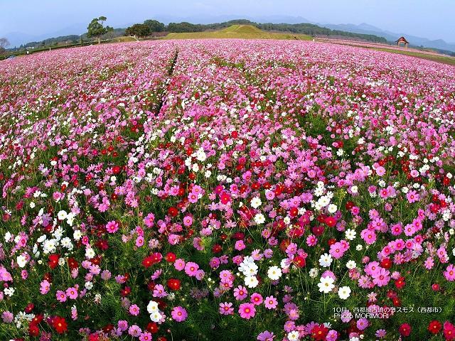 西都原古墳群 コスモスの壁紙 p_miyazaki_10_001.jpg