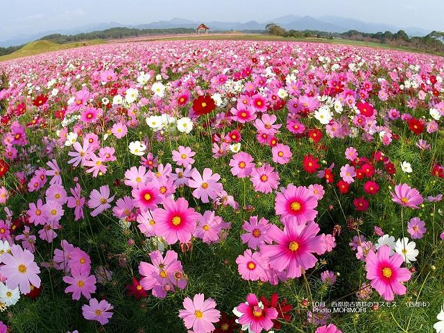 西都原古墳群 コスモスの壁紙 p_miyazaki_10_002.jpg