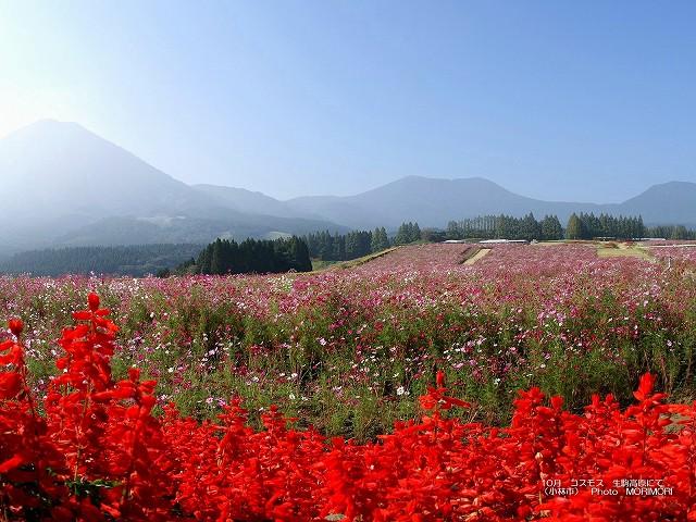 生駒高原 コスモス 壁紙 p_miyazaki_10_012.jpg