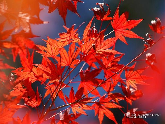紅葉の壁紙 ひなもり台 p_miyazaki_11_006.jpg