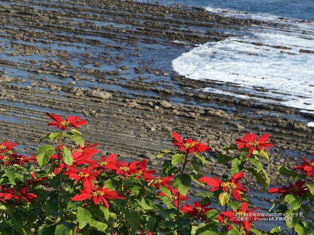 ポインセチア 日南海岸 p_miyazaki_12_004.jpg