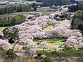 宮崎県写真壁紙(母智丘公園の桜) p_miyazaki_03_004_s.jpg