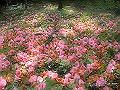 宮崎県写真壁紙(椿山森林公園のツバキ) p_miyazaki_03_005_s.jpg
