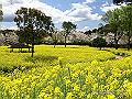 宮崎県写真壁紙(菜の花 法華嶽公園) p_miyazaki_04_001_s.jpg