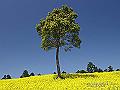宮崎県写真壁紙(菜の花 法華嶽公園) p_miyazaki_04_002_s.jpg