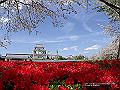宮崎県写真壁紙(ツツジと桜 天ヶ城公園) p_miyazaki_04_009_s.jpg