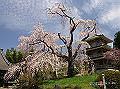 宮崎県写真壁紙(浄専寺のシダレザクラ) p_miyazaki_04_011_s.jpg