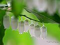 宮崎県写真壁紙(ネジキの花 ひなもり台) p_miyazaki_05_009_s.jpg