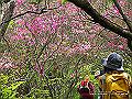 宮崎県写真壁紙(キリシマミツバツツジ) p_miyazaki_05_017_s.jpg