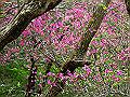 宮崎県写真壁紙(キリシマミツバツツジ) p_miyazaki_05_018_s.jpg