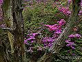 宮崎県写真壁紙(ミヤマキリシマ えびの高原) p_miyazaki_06_005_s.jpg