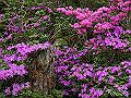 宮崎県写真壁紙(ミヤマキリシマ えびの高原) p_miyazaki_06_006_s.jpg