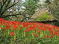 宮崎県写真壁紙(ヒガンバナ 皇子原公園) p_miyazaki_09_001_s.jpg