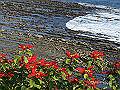宮崎県写真壁紙(ポインセチア 日南海岸) p_miyazaki_12_004_s.jpg