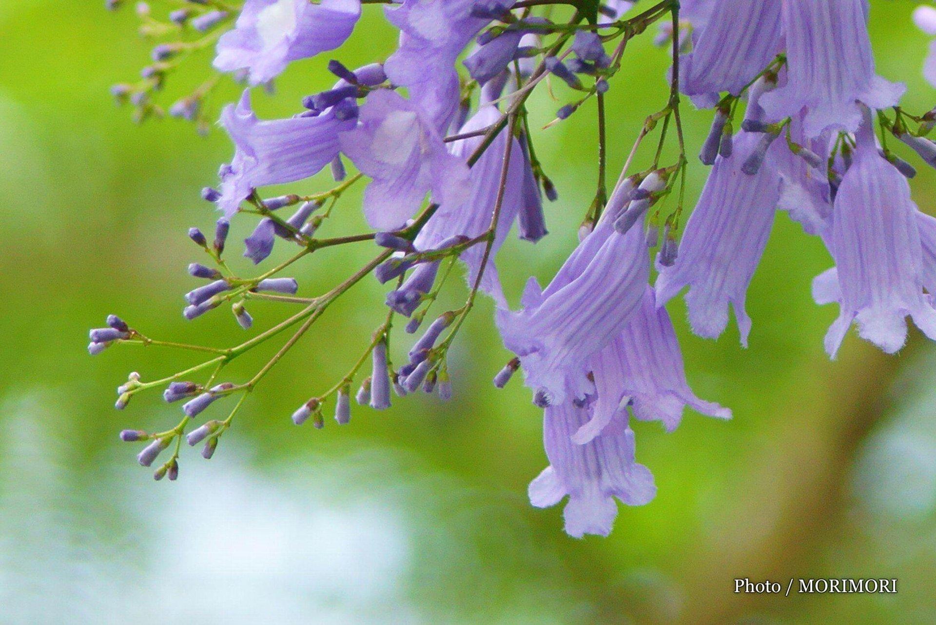 ジャカランダ 青島亜熱帯植物園(宮交ボタニックガ... ジャカランダ(紫雲木=しうんぼく)|青島